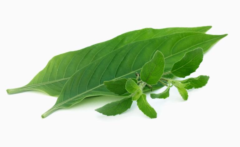 Снимка на индийското растение Аdhatoda vasica , от което се извлича активното вещество амброксол