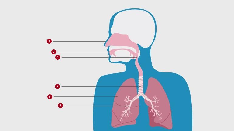 Диаграма на горната част на тялото, която показва устройство на дихателните пътища